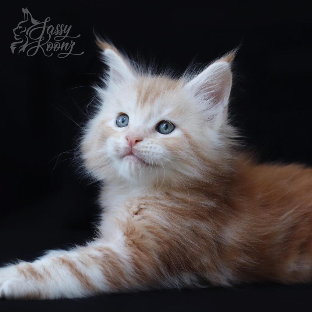 Florida Maine coon breeders