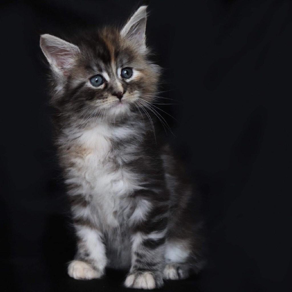 maine coon kitten in florida