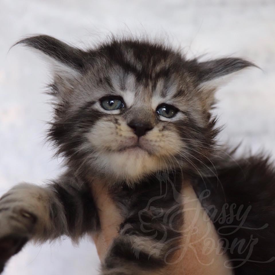 black silver maine coon kitten