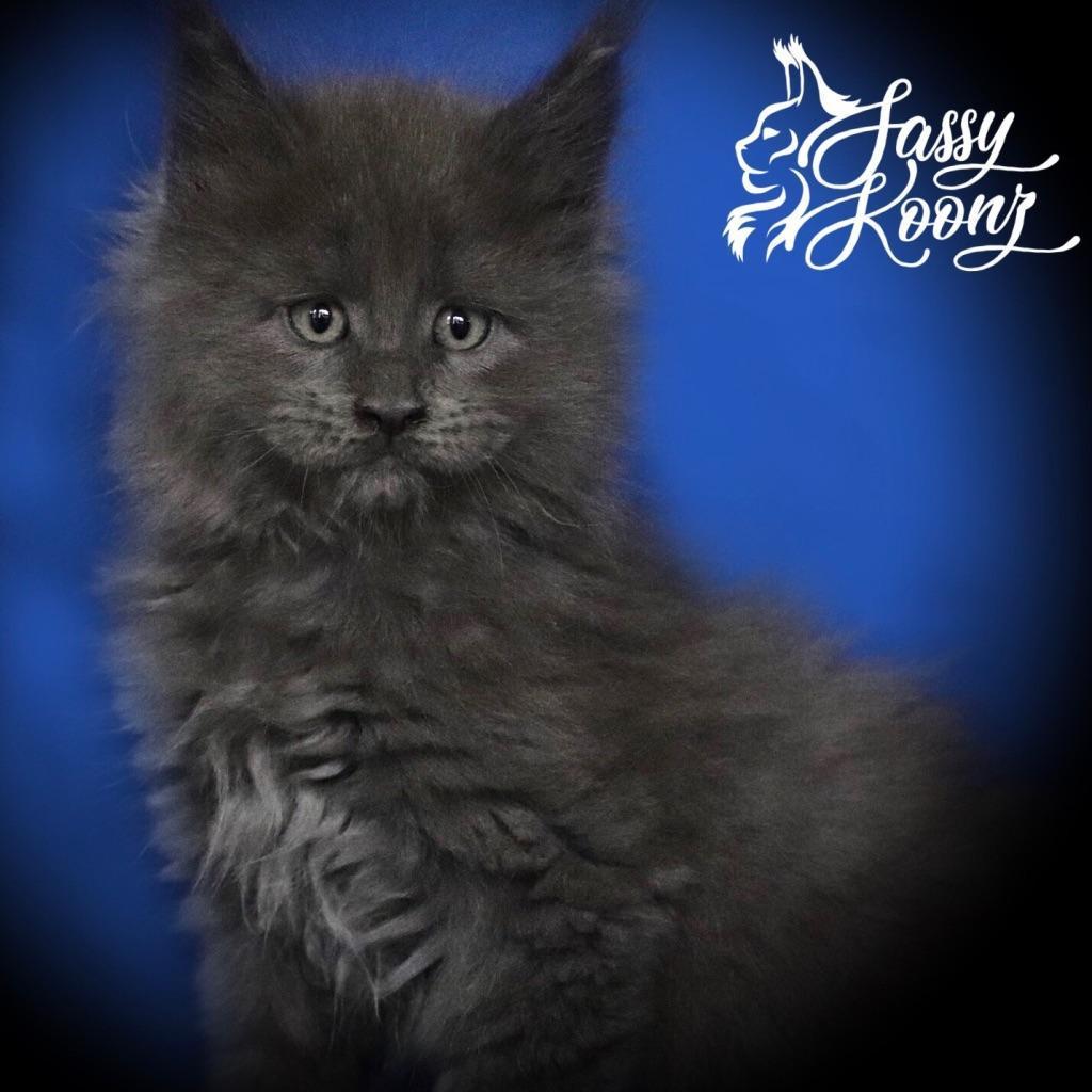 blue smoke maine coon kitten