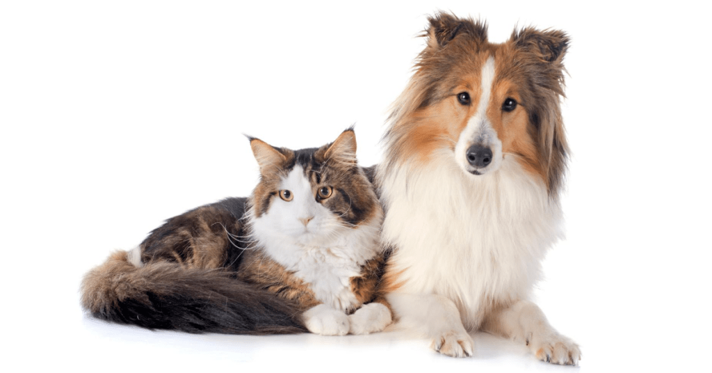 do maine coons get along with dogs