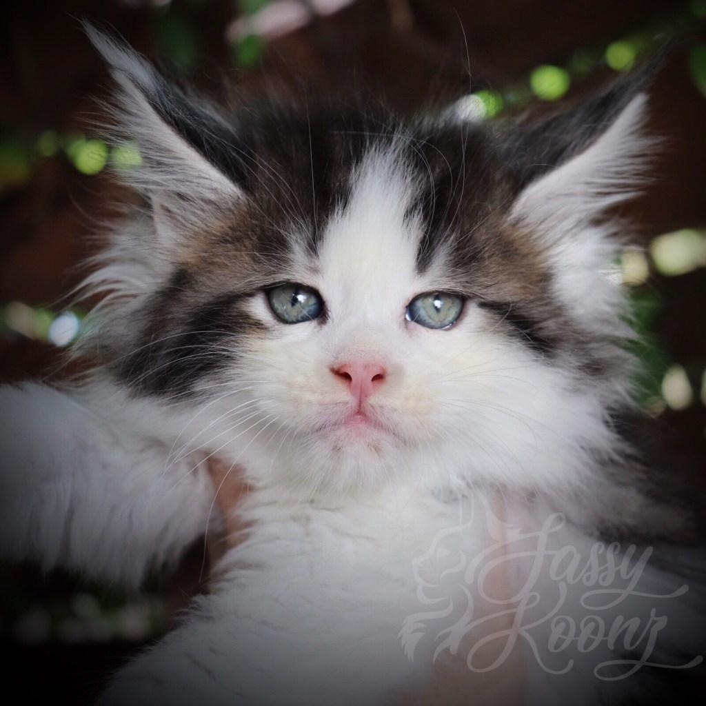 Bicolor Maine coon kitten