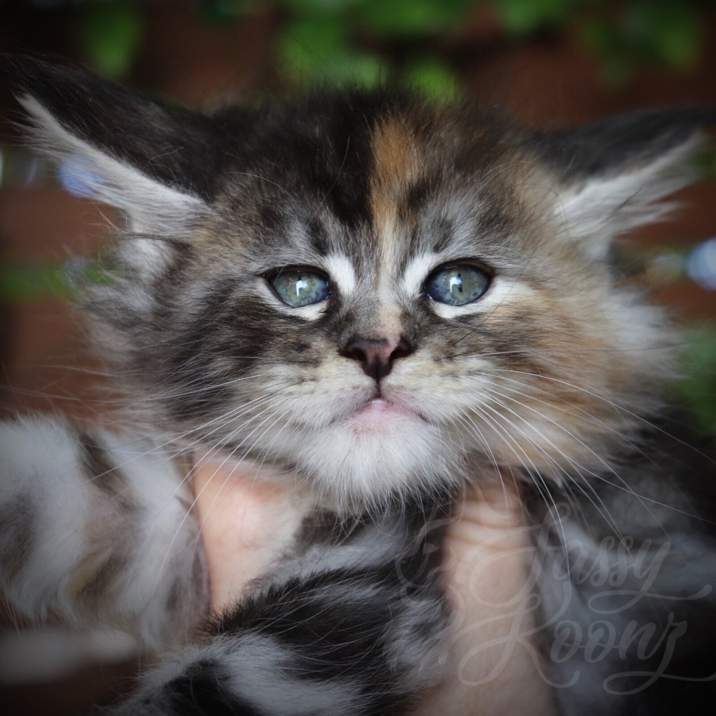 Silver torbie Maine coon