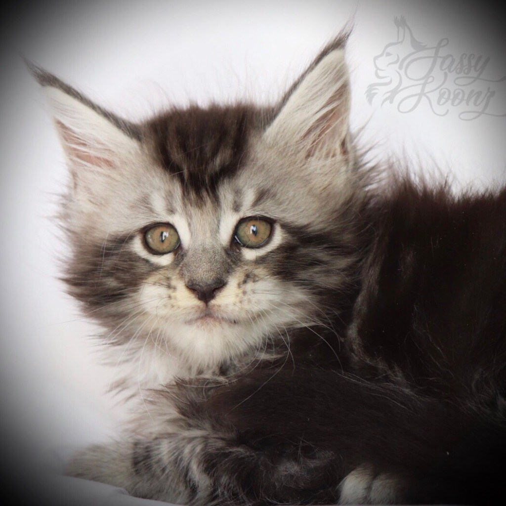 Silver Maine coon kittens for sale