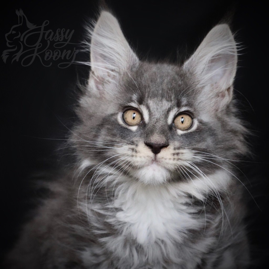 Blue silver Maine coon