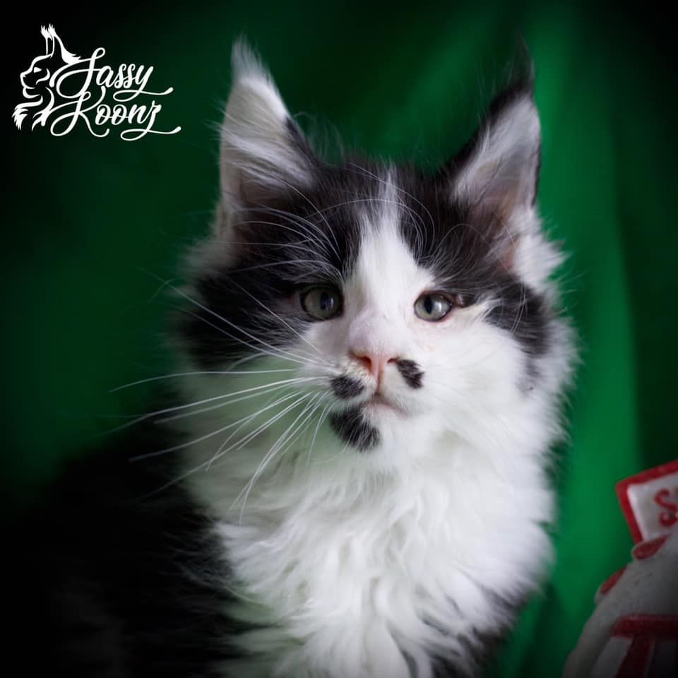 maine coon breeder florida