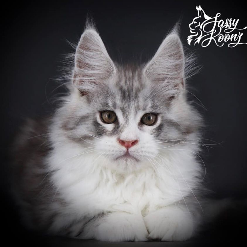 black smoke and white maine coon kitten at 10 weeks old
