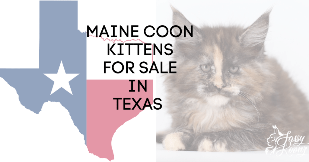 maine coon kittens texas
