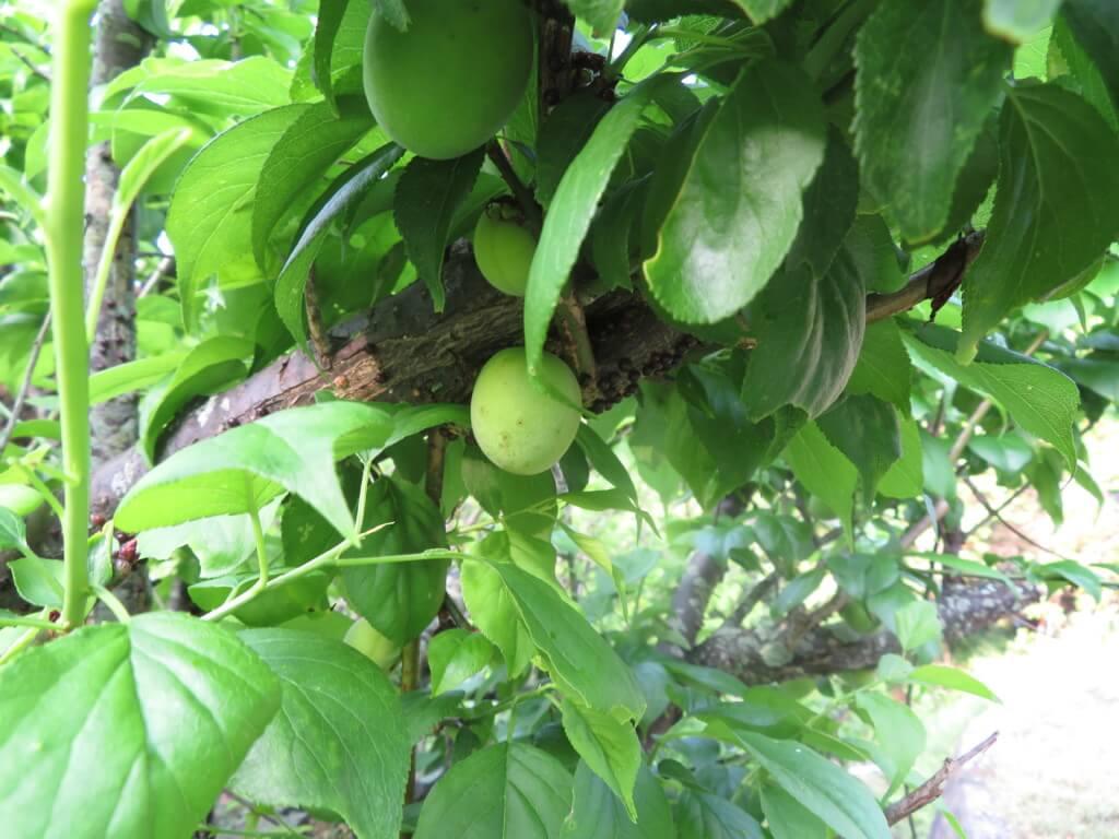 キウイと梅の木の剪定してきました。来年は沢山実を付けてくれよ