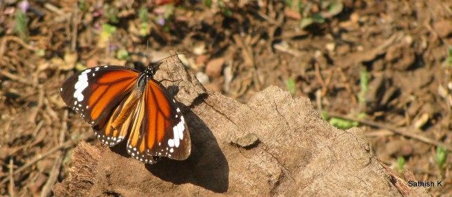 Butterfly, Murd