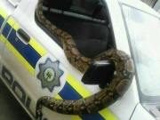 Zimbabwean Man Turns Himself To Giant Snake After Being Arrested By South Africa Police