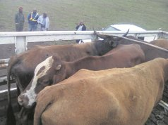 Police seize cow allegedly stolen to pay lobola