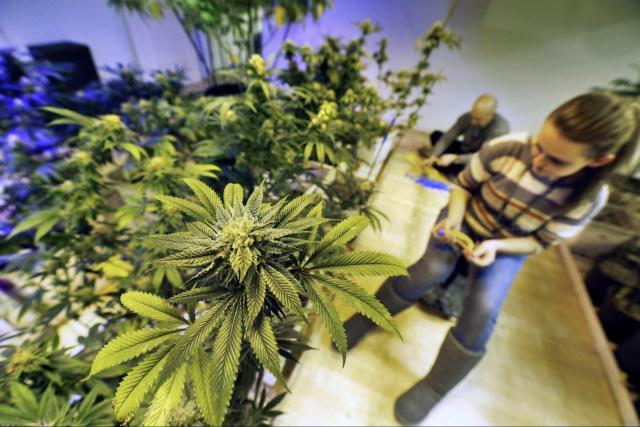 Cannabis Trimmer