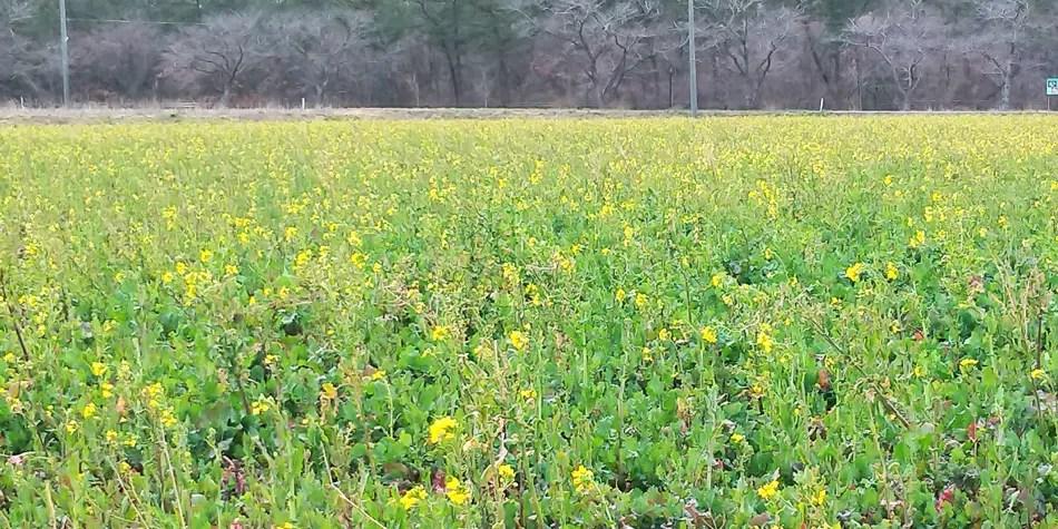 由利本荘市西目の菜の花