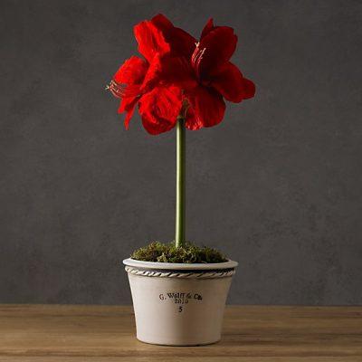 Red Amaryllis in Pot - Restoration Hardware