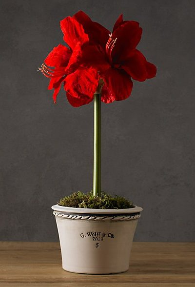 Red Amaryllis in Pot - Restoration Hardware