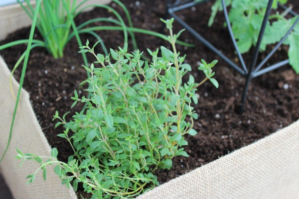 Herbs Potted in Burlap Planter