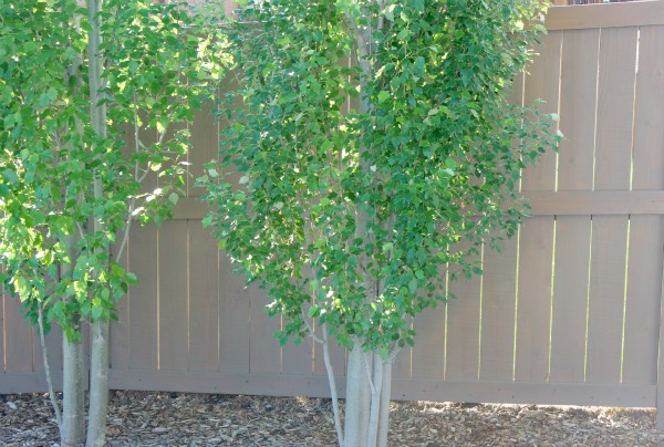 Grey-brown Stained Cedar Fence with Tower Poplar Trees