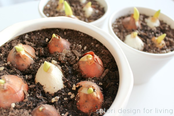 Tulip Bulbs in White Pots - How to Force Bulbs Indoors