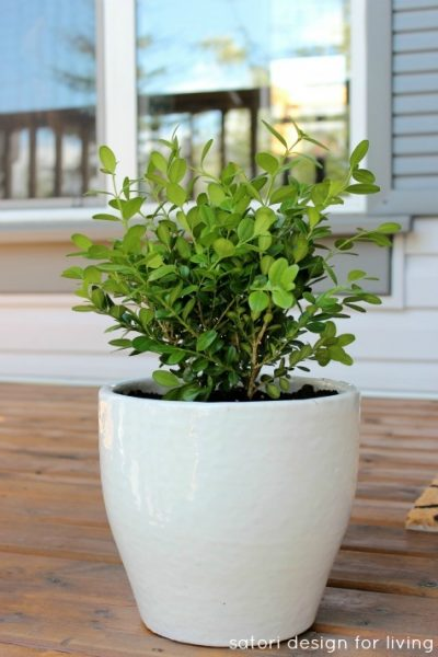 Simple Green and White Plants - Potted Boxwood in White Pot - Satori Design for Living