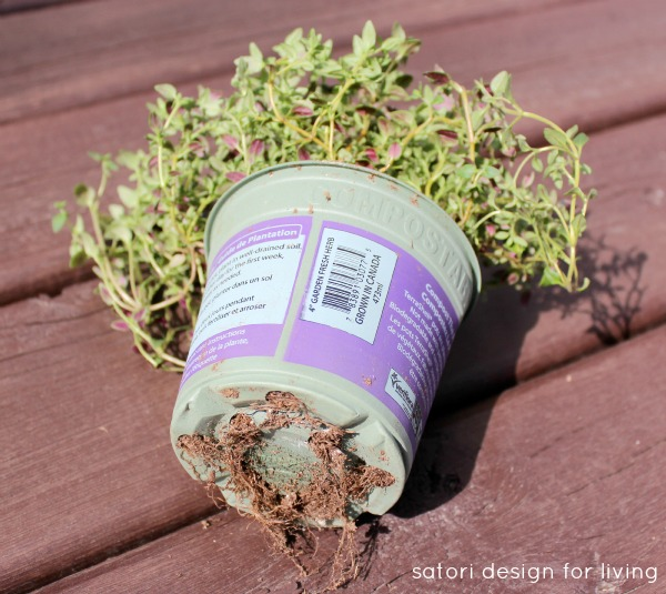 How to Plant Herbs in a Strawberry Pot - Thyme Plant