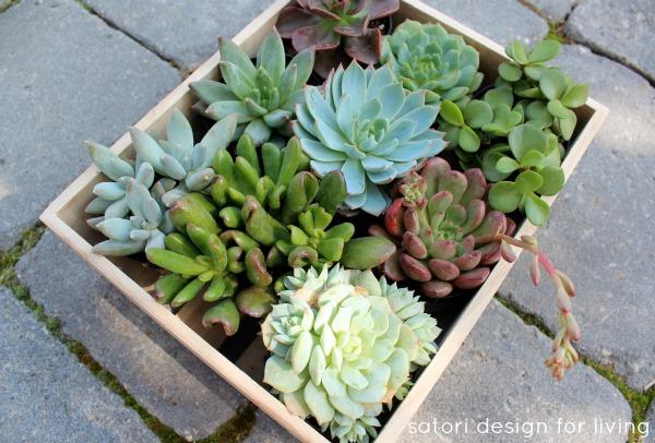 Tiny Succulents in Crate - Satori Design for Living