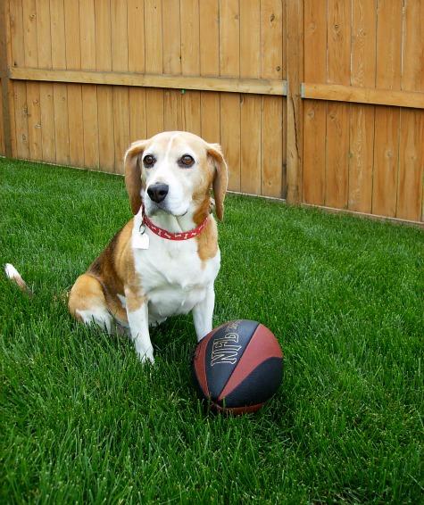 Our Beagle Reegan