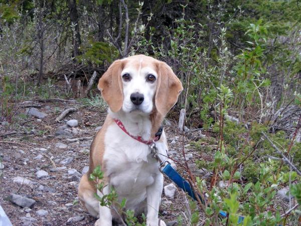 Saying Goodbye to Our Beloved Beagle Reegan