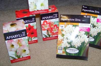 Amaryllis and Narcissus Bulbs for Christmas