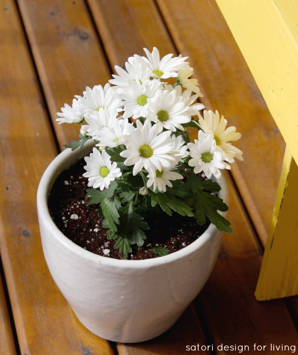 Cold Tolerant Annuals for Early Spring Planting - Chrysanthemum