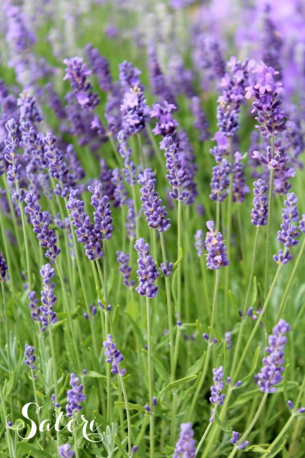 Munstead English Lavender Garden