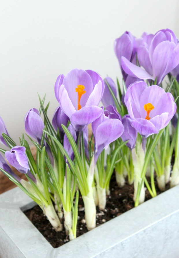 Easy and Inexpensive Spring Crocus Planter Using Bulbs from the Grocery Store - Satori Design for Living