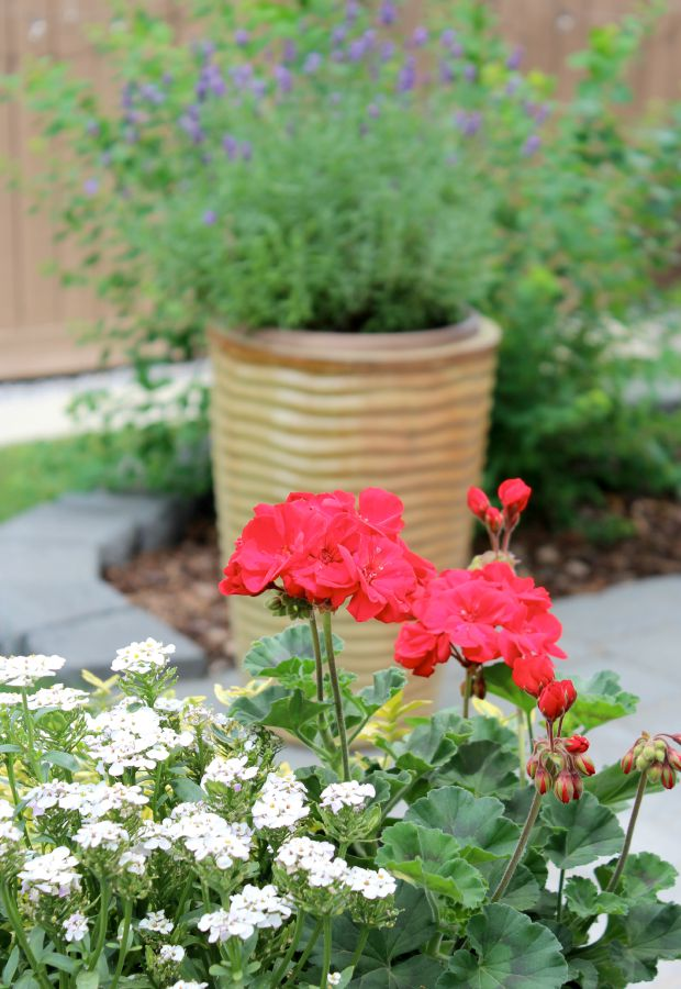 Backyard Garden Planter with Red Geraniums
