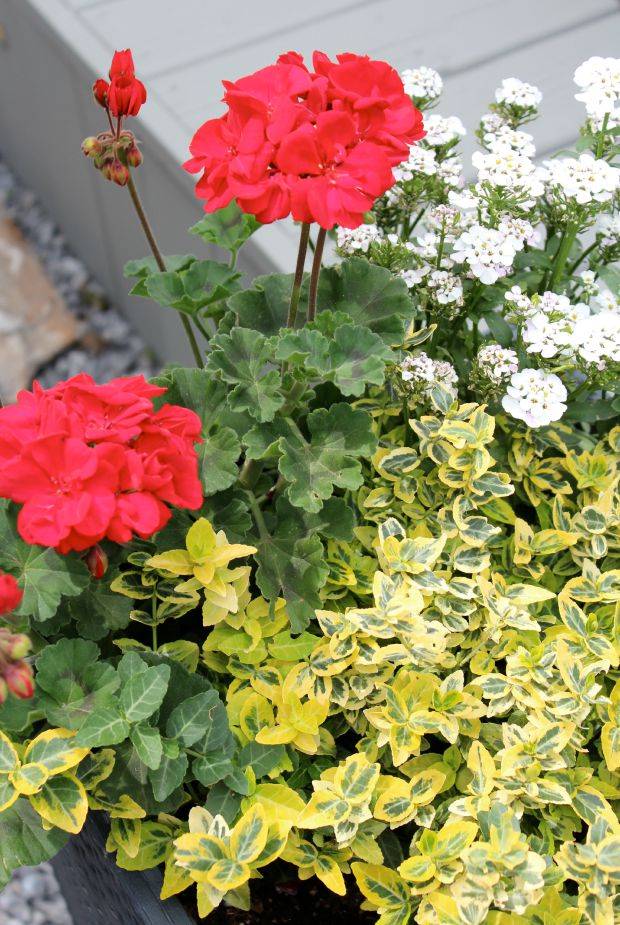 Red Geraniums, Euonymous and Iberis in Tall Gray Planter - Chelsea Gray Stained Deck