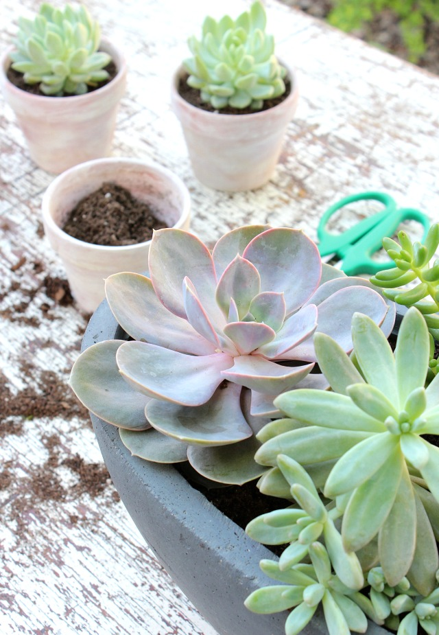 Succulents in Weathered Pots - Tips for Repotting Succulents - Satori Design for Living