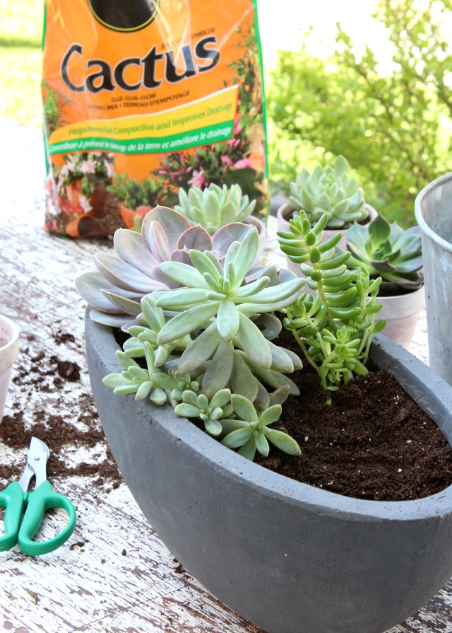 Potted Succulents in Cactus Mix - Tips for Repotting Succulents - Satori Design for Living