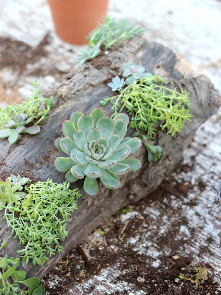 DIY Log and Succulent Centerpiece