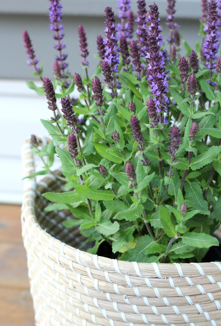 Outdoor DIY Projects and Decorating Ideas - Front Porch Basket Planter with Salvia - Satori Design for Living