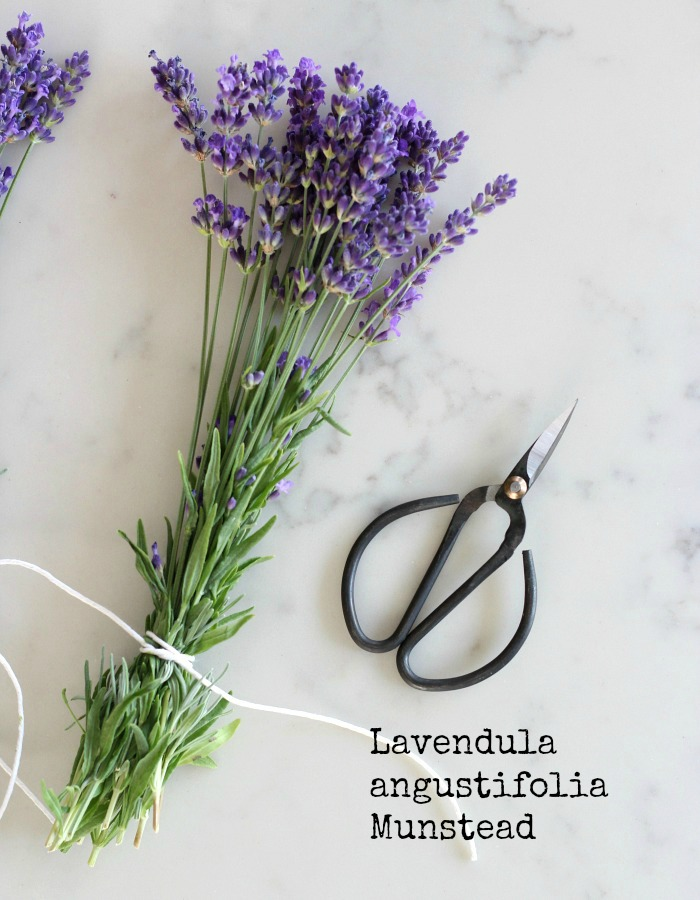 English Lavender Sprigs Tied with String for Drying