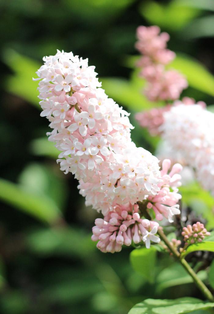 Pale Pink Lilacs