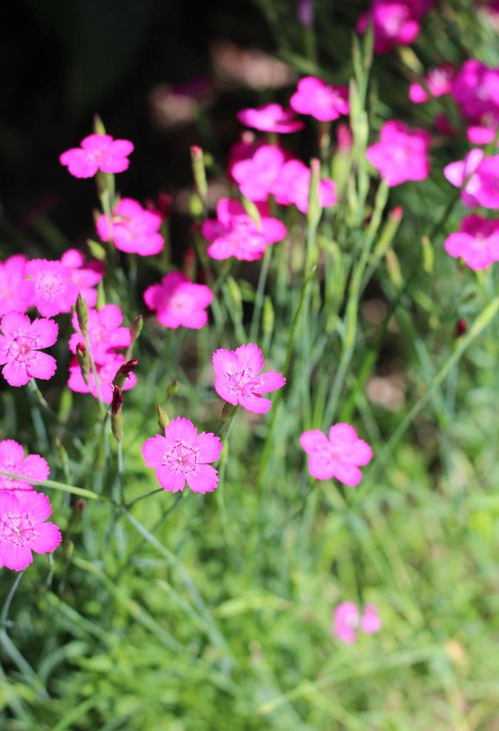 Pink Dianthus Perennial