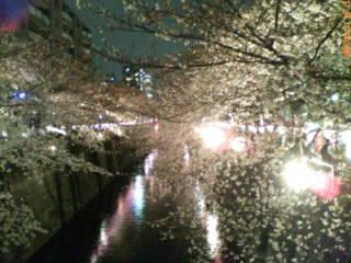 昨日の夜桜