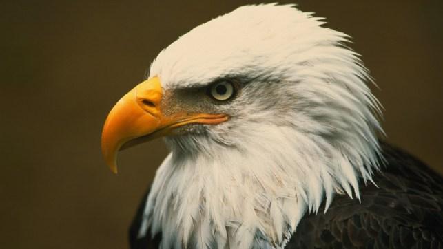 satriabajahitam.com - tatapan burung elang