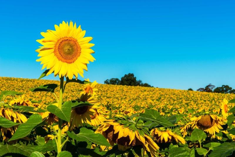 wallpaper gambar bunga matahari foto