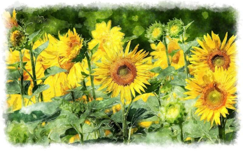 wallpaper gambar bunga matahari lukisan