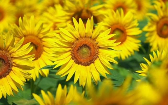 wallpaper gambar bunga matahari kwaci