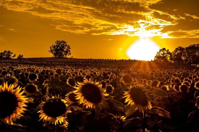 wallpaper gambar bunga matahari senja