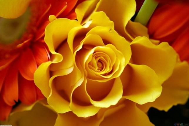 wallpaper gambar bunga mawar kuning