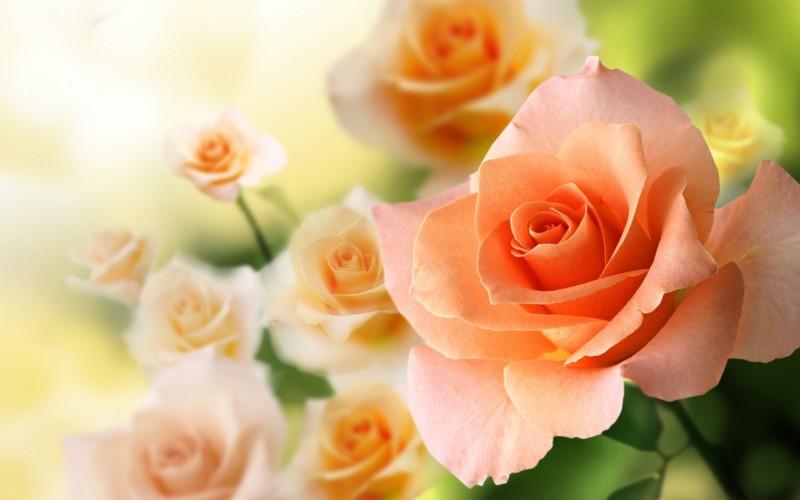 wallpaper gambar bunga mawar peach
