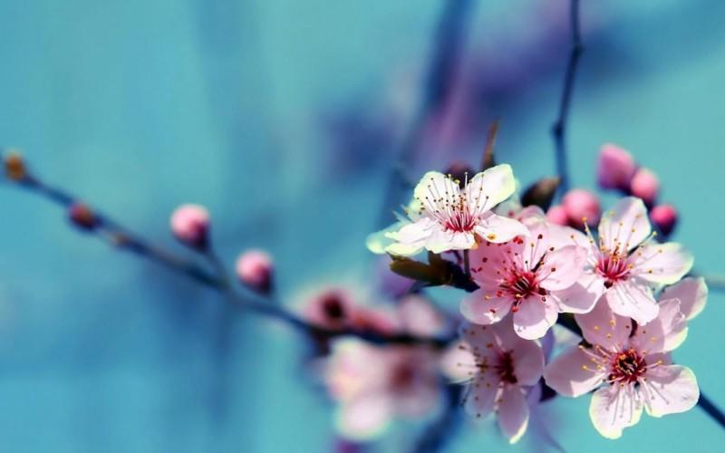 wallpaper gambar bunga sakura